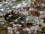 White Stonecrop (Sedum album)